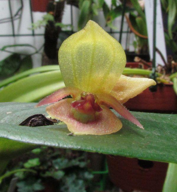Acronia deflexa Img_3821