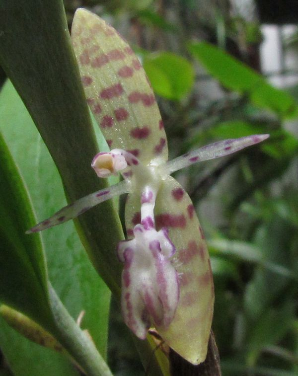 Talpinaria bivalvis ( ex. Pleurothallis talpinaria ) Img_3912