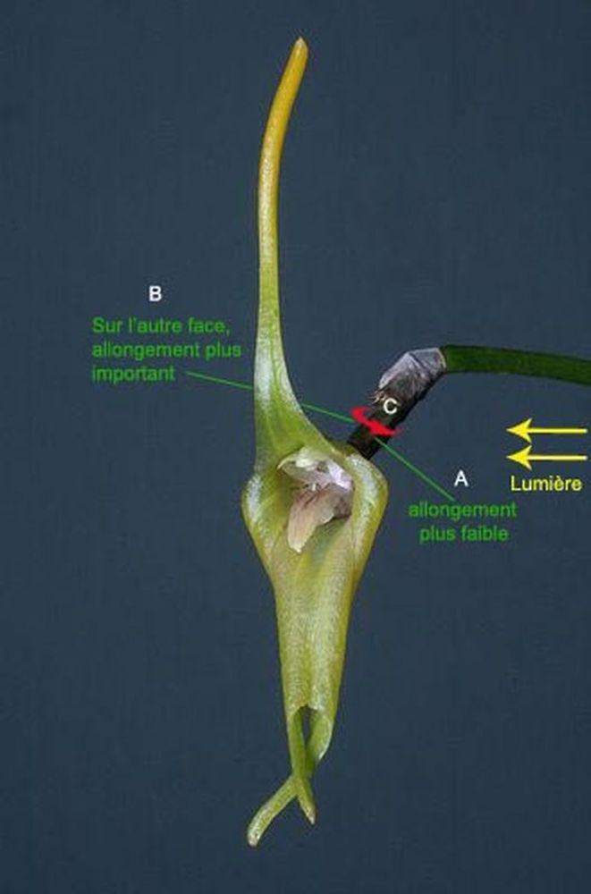 Résupination chez les orchidées, pourquoi ? comment. M_509d10