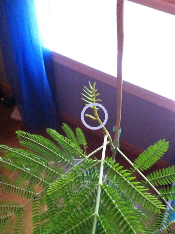 Mimosa pudica?  Photo_10