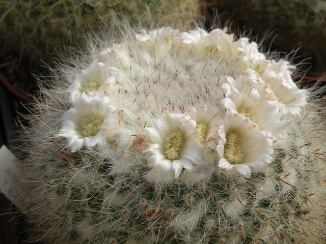 mammillaria hahniana (white flowers) Hahnia10