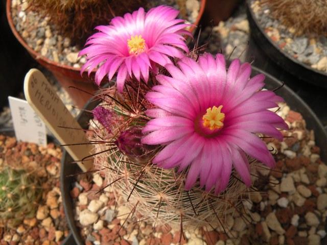 blooms , may 2010 Meridi10