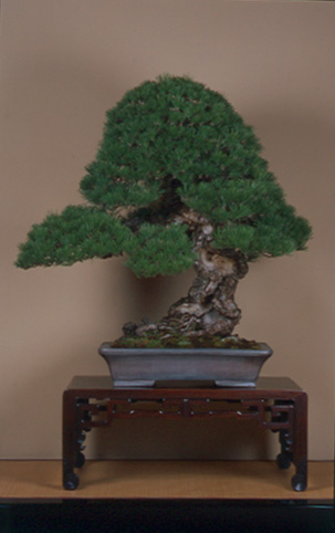 Pinus mugo 2004 G10