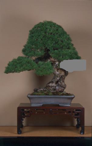 Pinus mugo 2004 G11