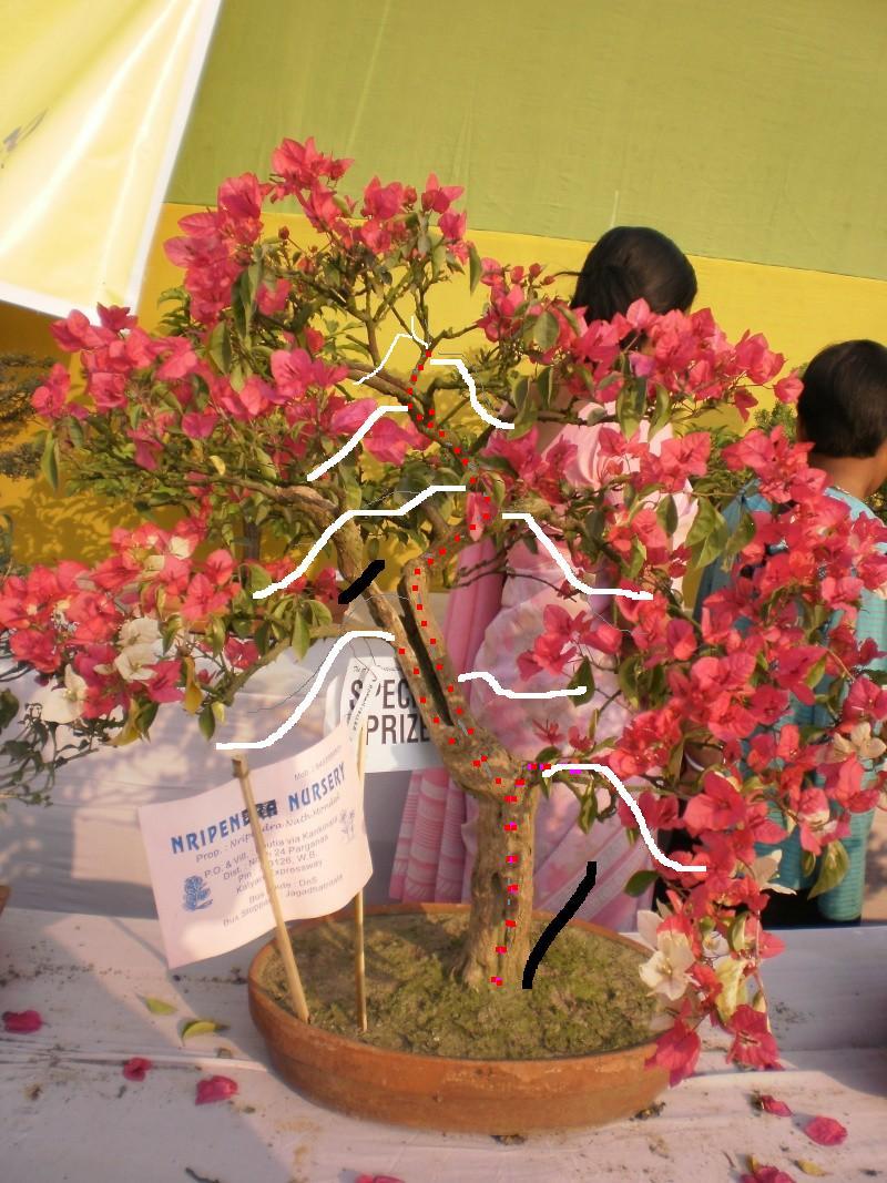 my bougainvillea bonsais...please give your comments P2010010