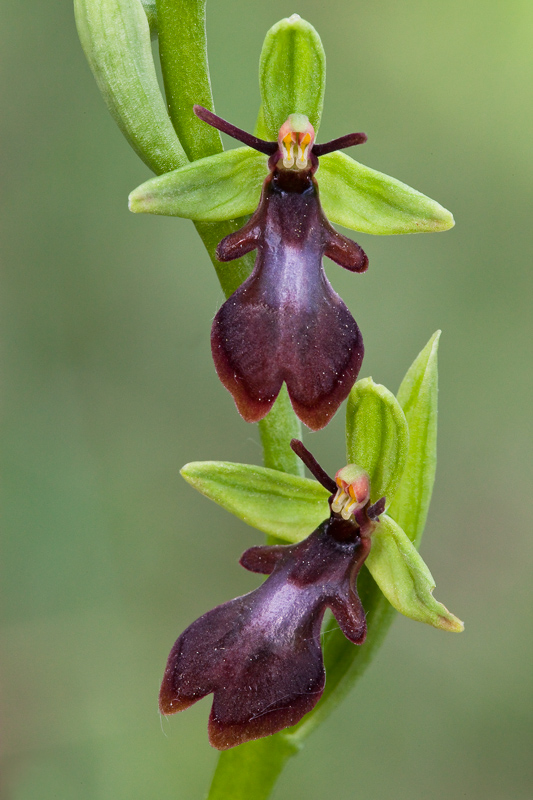 Ophrys insectifera ( Ophrys mouche ) Insect10