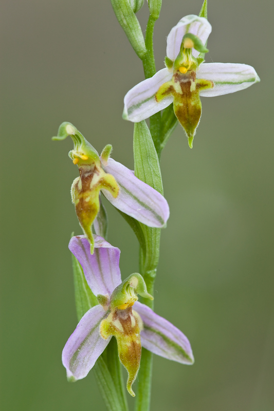 Variétés d'Ophrys apifera Trolli10