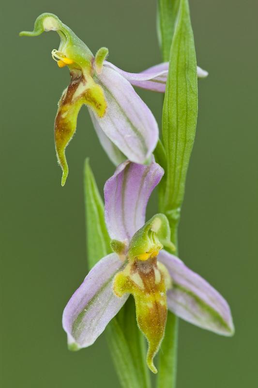 Variétés d'Ophrys apifera Trolli12
