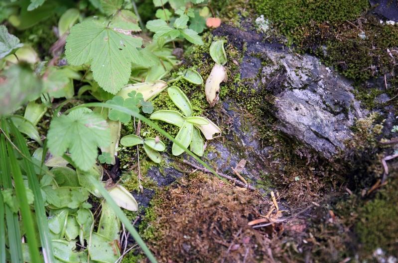 Pyrénées et pinguicula sauvages Dpp_5018