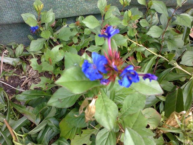fleurs bleu // Ceratostigma plumbaginoïdes  Photo113