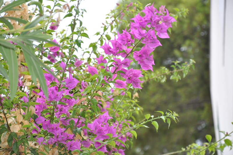 Les Fleurs Dsc_4910