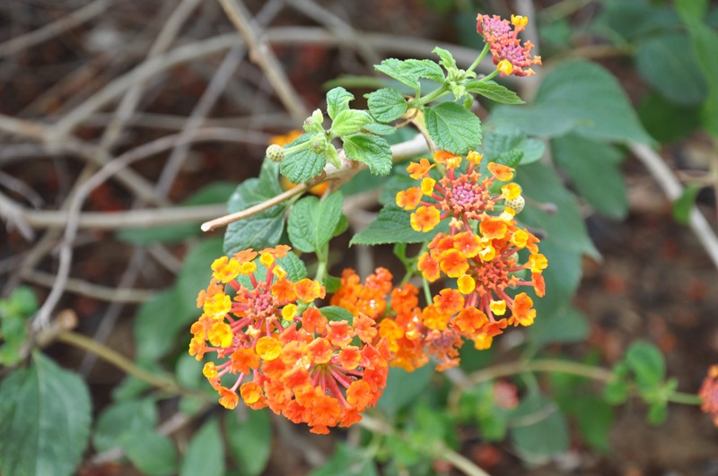 Les Fleurs Dsc_5113