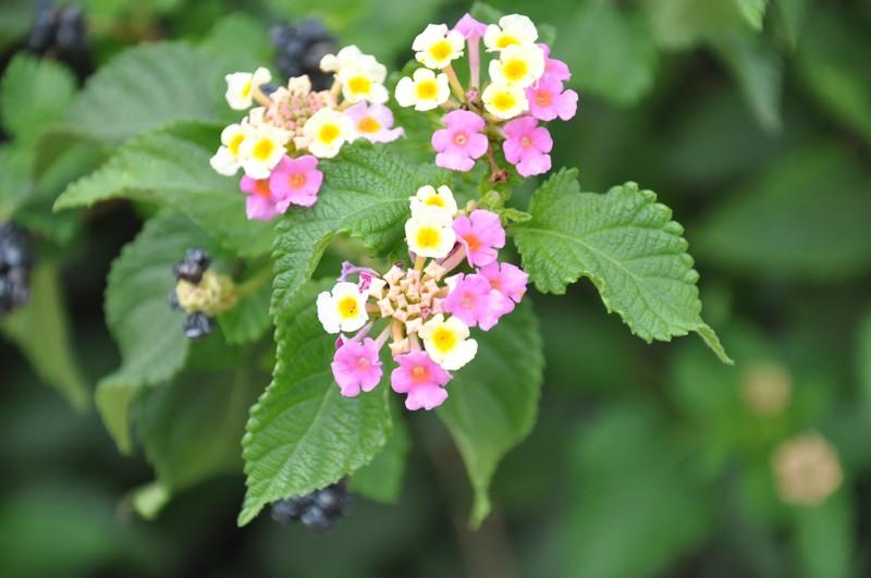 Les Fleurs Dsc_6012