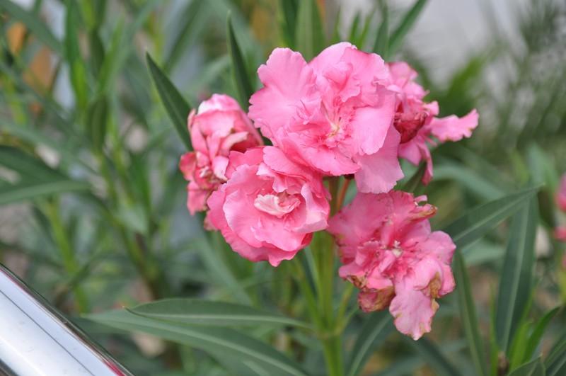 Les Fleurs Dsc_6013
