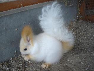 Ecureuils de drôle de couleurs Sciuru13