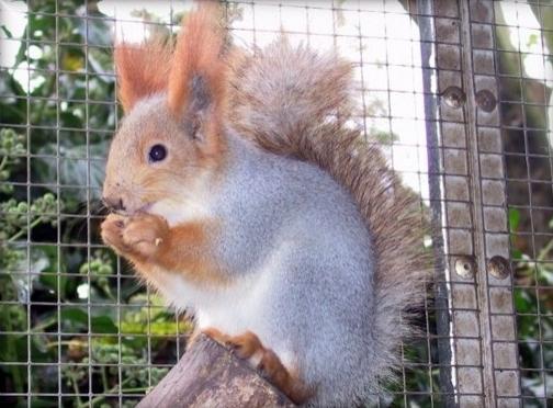 Ecureuils de drôle de couleurs Sciuru14