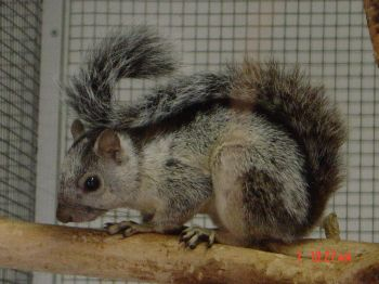 Ecureuils de drôle de couleurs Sciuru15