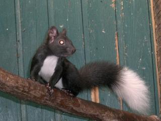 Ecureuils de drôle de couleurs Siurus12