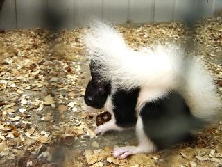 Ecureuils de drôle de couleurs Siurus13