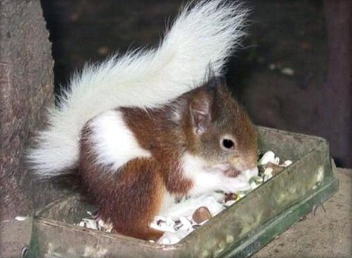 Ecureuils de drôle de couleurs Siurus14