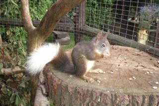 Ecureuils de drôle de couleurs Siurus15