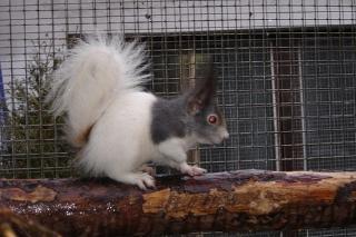 Ecureuils de drôle de couleurs Siurus16