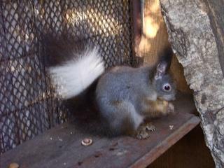Ecureuils de drôle de couleurs Siurus17