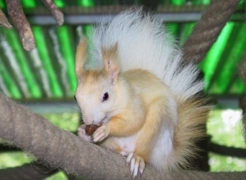 Ecureuils de drôle de couleurs Siurus18