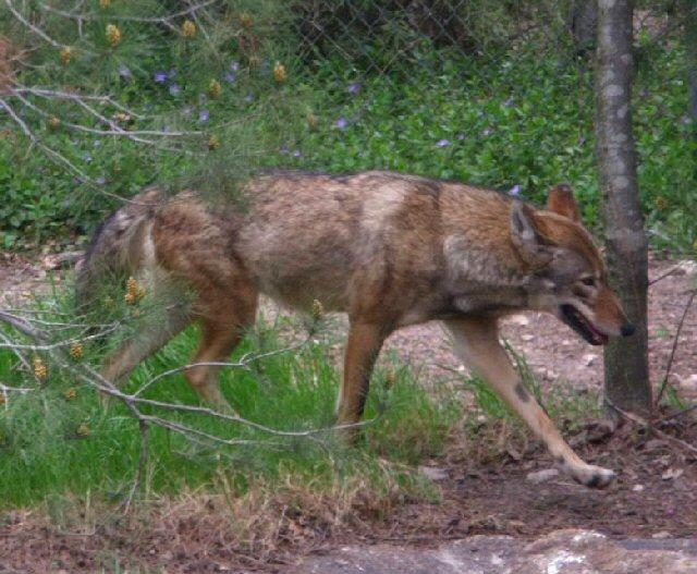 Mount Shasta Wolf Pack - OPEN TO ALL Redwol10
