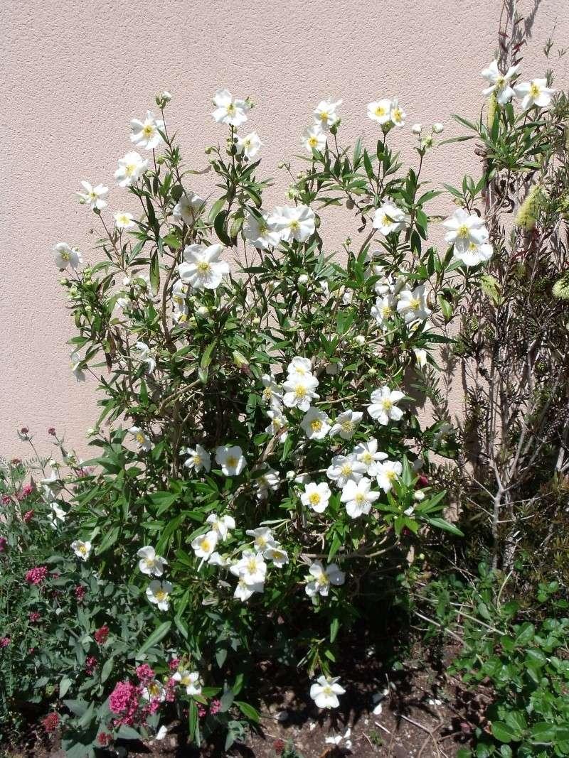 Deux arbustes pour le printemps Dscf0026