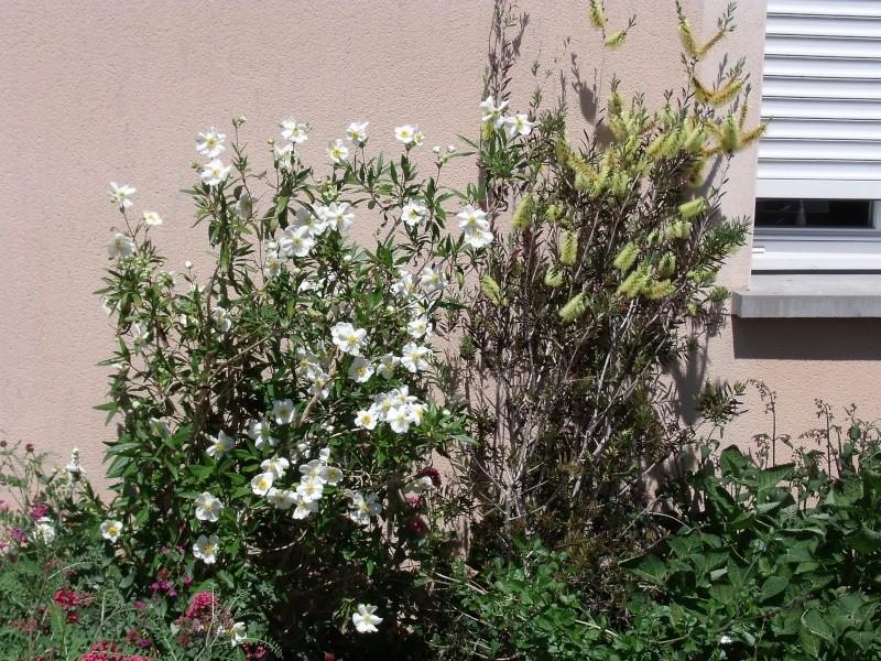 Deux arbustes pour le printemps Dscf0027