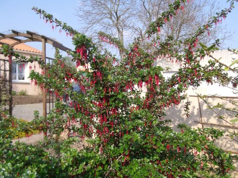 poncirus trifoliata Dscf0029