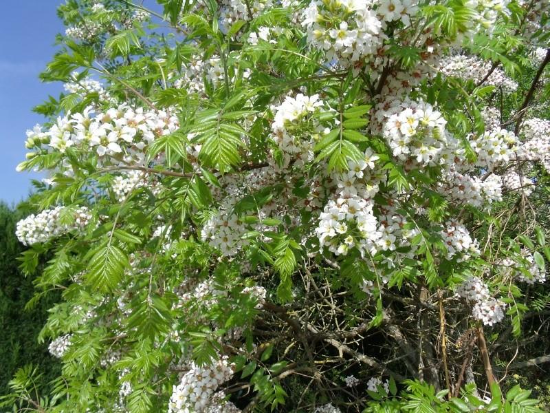 Le Xanthoceras sorbifolia Dscf0318