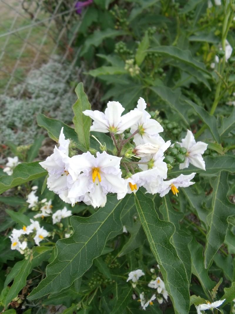 Les Solanums Solanu11