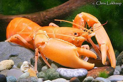 Cherax holthuisi (sp. Apricot, Orange Tip, Black Scorpion) Cherax11