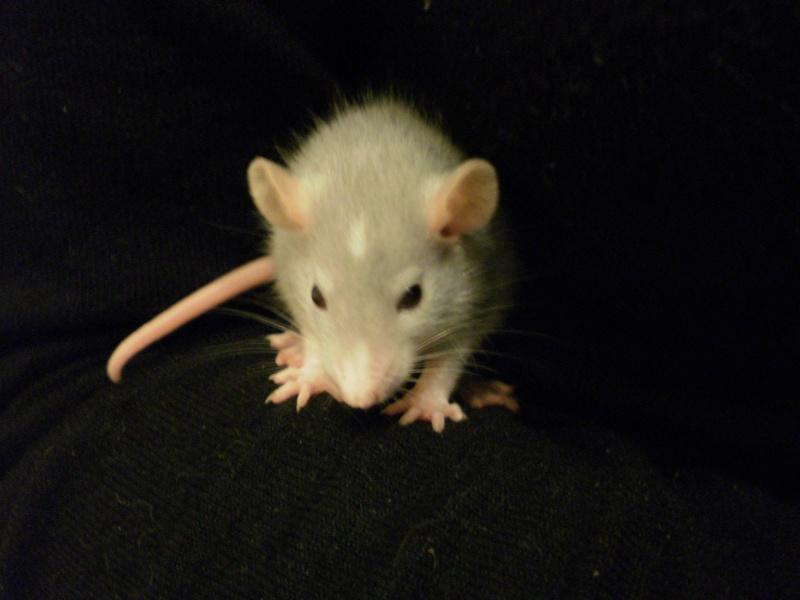 Achat d'un bébé rat ;) P3021710