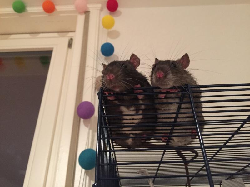 Mes ratons ne sortent que sur leur cage !  5_les_10