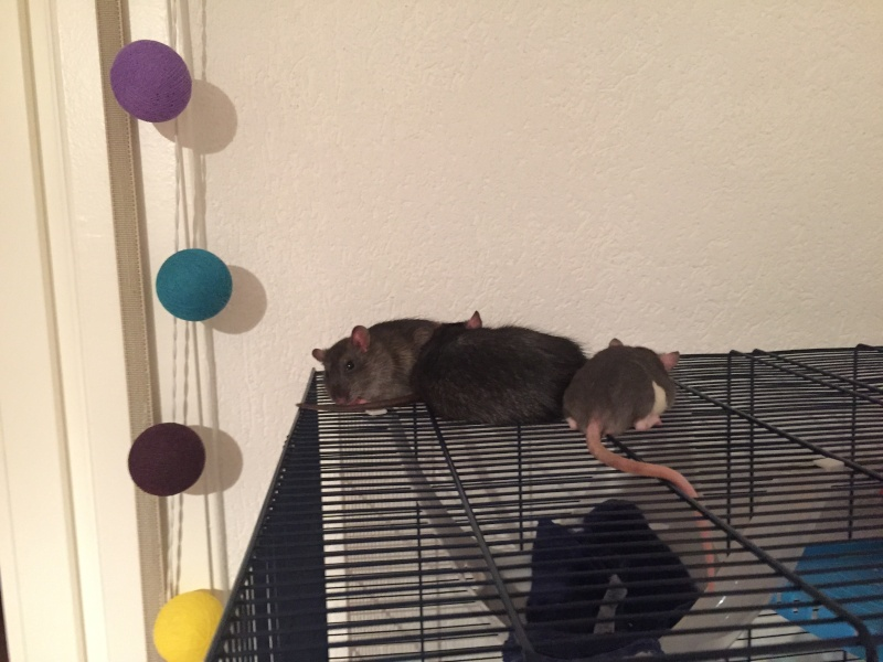 Mes ratons ne sortent que sur leur cage !  8_endo10