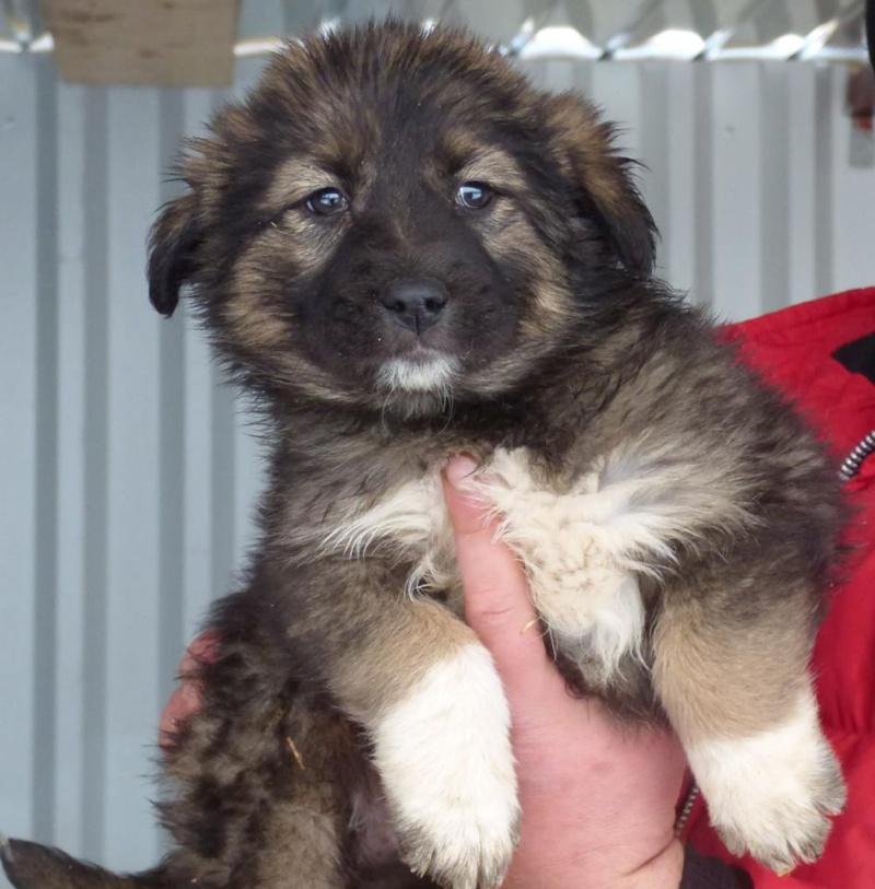 EGLANTINE, chiot femelle, née en octobre 2015 (Pascani)- en pension chez Lucian-réservée adoption par cécile (54) 11201910