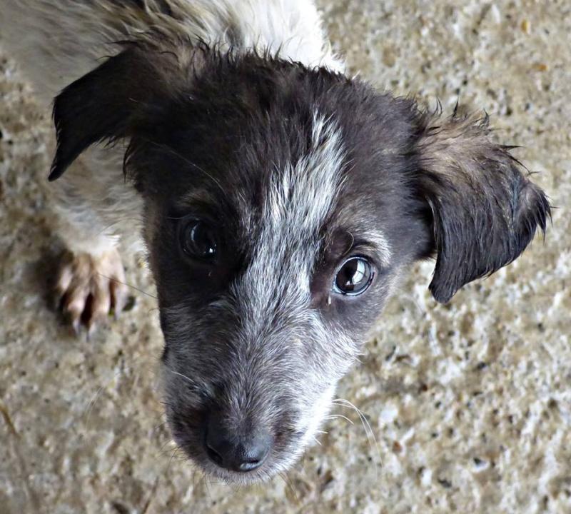 BENJI, chiot mâle, né en août 2015 (Pascani)-REMEMBER ME LAND 12235010