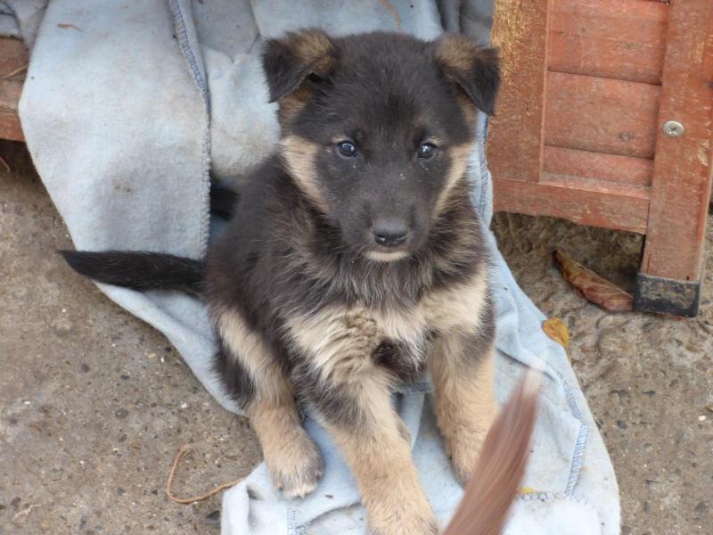 VOYOU, chiot mâle, croisé BA -né en août 2015 (Pascani) - en pension chez Lucian 12238010