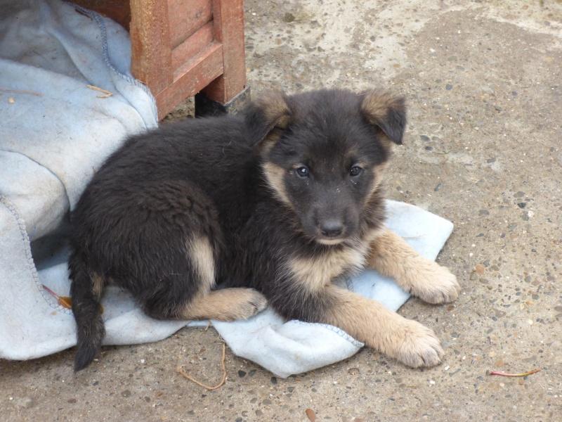 VOYOU, chiot mâle, croisé BA -né en août 2015 (Pascani) - en pension chez Lucian 12238211