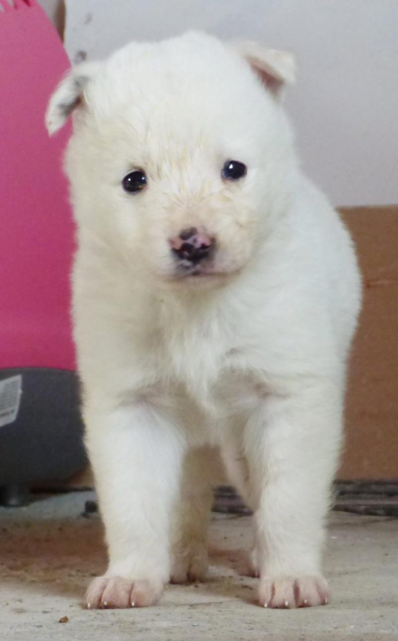 BOULE, chiot femelle, née en octobre 2015 (Pascani) - chez Florin -réservée FA par Rachel (57) 12265911
