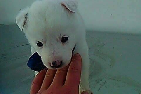 BOULE, chiot femelle, née en octobre 2015 (Pascani) - chez Florin -réservée FA par Rachel (57) 12299212