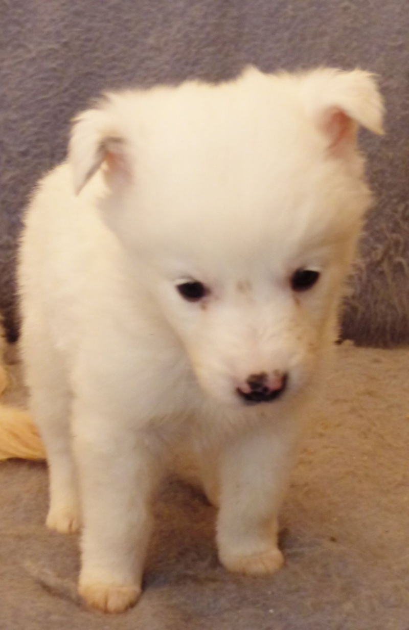 BOULE, chiot femelle, née en octobre 2015 (Pascani) - chez Florin -réservée FA par Rachel (57) 12303912
