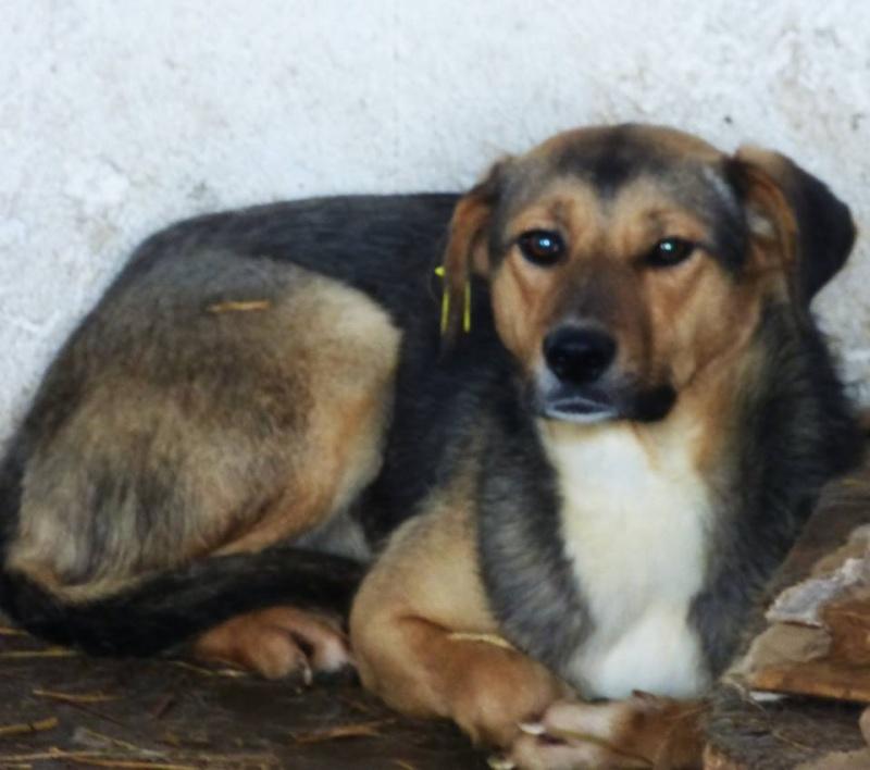 TAHITI - femelle, croisée de taille moyenne, née environ mars 2013 - adoptée par Isabelle (10) 12308310