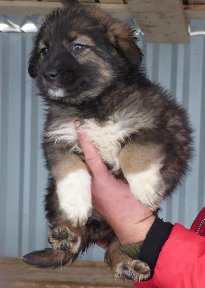 EGLANTINE, chiot femelle, née en octobre 2015 (Pascani)- en pension chez Lucian-réservée adoption par cécile (54) 12356810