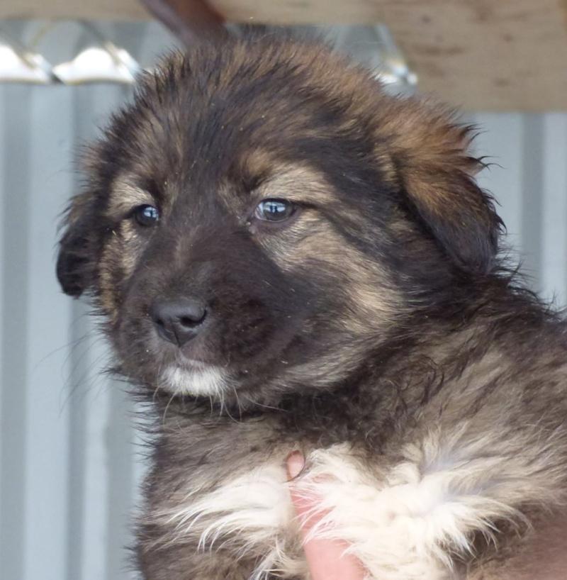 EGLANTINE, chiot femelle, née en octobre 2015 (Pascani)- en pension chez Lucian-réservée adoption par cécile (54) 12357011