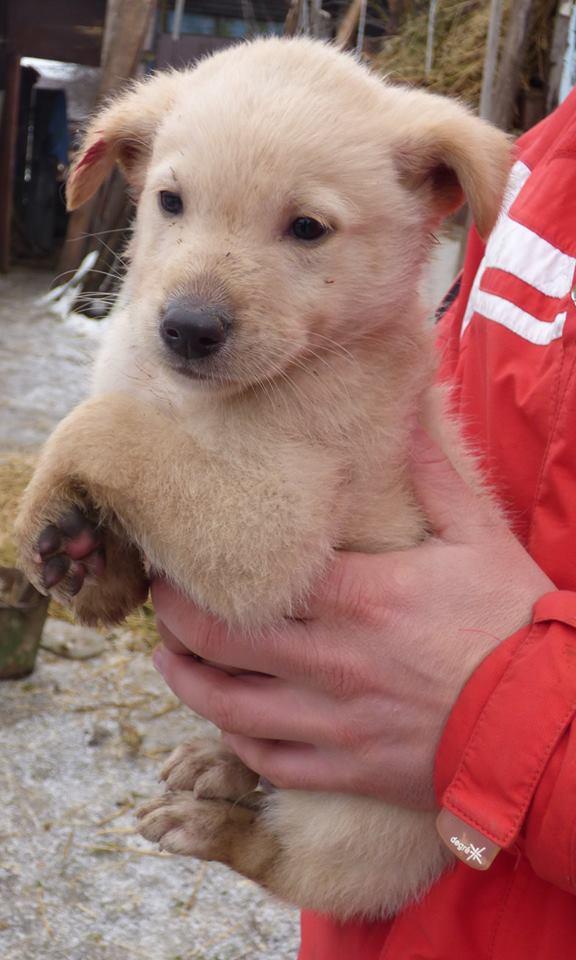 HAÏKO, chiot mâle, né en octobre 2015 (Pascani)-en pension chez Lucian 12508711