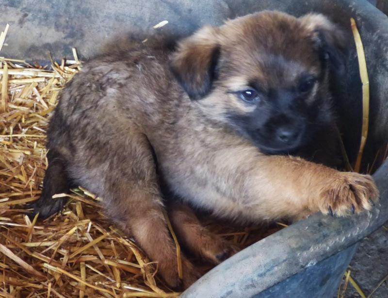 GLASGOW, chiot mâle, né fin novembre 2015 (Pascani)-REMEMBER ME LAND 12615111